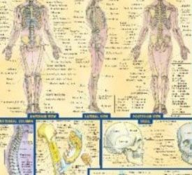 PDF Download BarCharts QuickStudy Anatomy Volume 1 Free